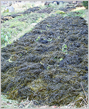Seaweed Liquid Fertilizer India
